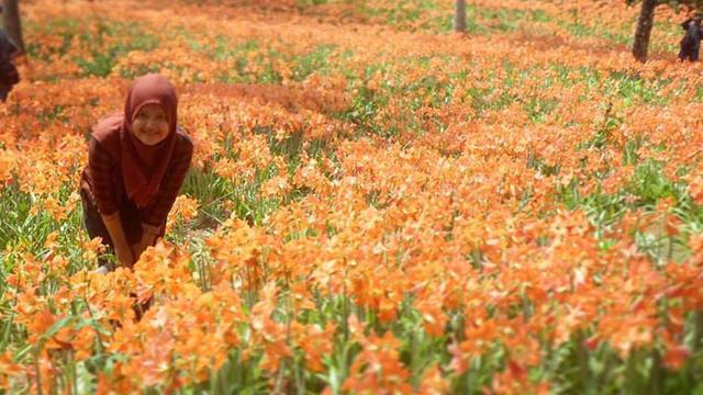 taman bunga armaryllis